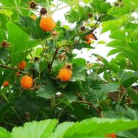 どうでもいい庭の木苺、これは、オレンジ色だよ