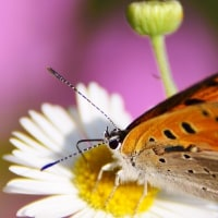 ベニシジミ蝶3
