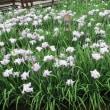 枚方・山田池公園の花しょうぶ