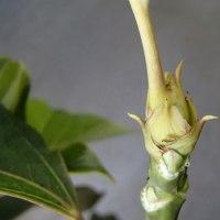 冬芽と葉痕:カクレミノ・・・