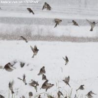 野鳥との出逢い♪  雪降る中のスズメ