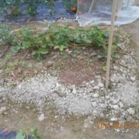イチゴの苗づくりも順調