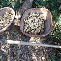 農園で菊芋・ジャガイモ収穫(2016/12/6)