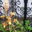 ピーナツカボチャに花が咲く