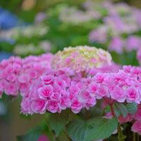 筥崎宮花庭園からp6アジサイ(D810,マクロ105mm)
