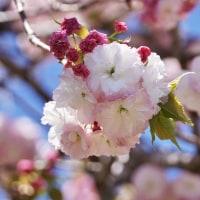 泉の桜は 牡丹桜 (南伊勢町)