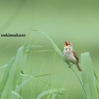 オオヨシキリ 5