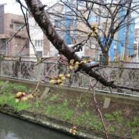 真間川の桜 2017.03.21  もうすぐ開花!?