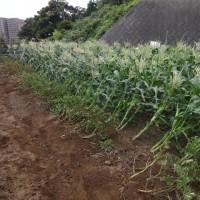 収穫時期が近づいたゴールラッシュにカラス対策を施しました