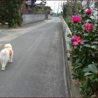 ミモザ咲く<今朝の庭2/21>