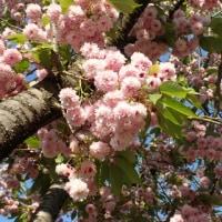 兼六園菊桜が見頃です。