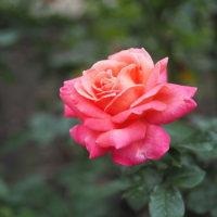 薔薇(秋)