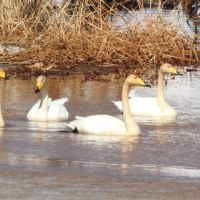 モエレのオジロワシ 白鳥の湖 2017/3/18 付録