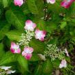 昭和記念公園 花便り ネジバナとヤマアジサイ 6月28日