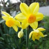 黄水仙ギリシャ神話にトラの色