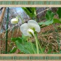 色んな花のエンドウ