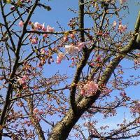 なんと桜の花が☆