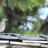 島の民家の屋根でも、よく見かけるイソヒヨドリ。
