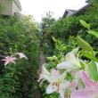 庭のユリたち