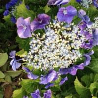 ◆紫君子蘭とワイン。