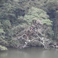 沖縄の大寒、千原池の白鷺、青鷺、そしてくちばしが赤いバン!