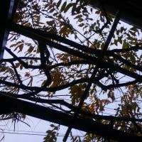 藤の棚を見上げると、空が見えるようになりました。