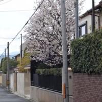 近衛邸跡の桜はどうじゃろなと自転車散歩
