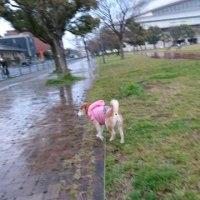 夕方散歩は雨