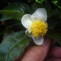 「茶の花」