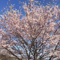 ちょっと残念だった今年の桜
