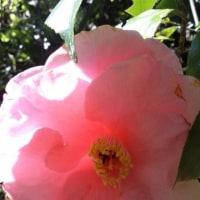 4月の花椿