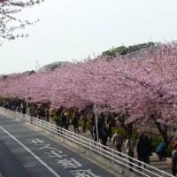 三浦海岸河津桜
