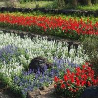 公園に咲いたオカトラノオ