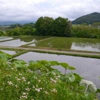 雨に咲くオダマキ、ワスレナグサを見、苗植わる雨上がりの田んぼに出会う。