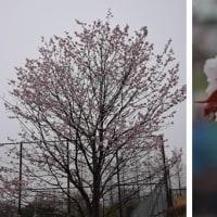 川内近辺のサクラ花 ⑤