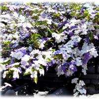 初夏にいい香りを…(^^♪、「もうすぐ梅雨が始まるよ~」というのを知らせてくれているような感じの花 「蕃茉莉 (ばんまつり)」