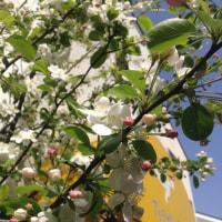 姫リンゴの花が綺麗に咲きました。