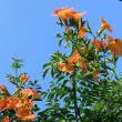 ノウゼンカズラの花