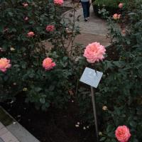 神代植物公園のバラ2011秋548