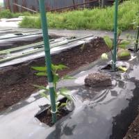 5/29畑にトマト、ナス、ピーマンを植える