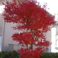 わが庭の今年最後の紅葉