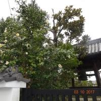 静かな椿の寺