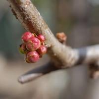 庭の花ヒマラヤユキノシタ