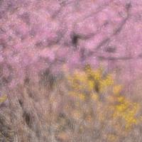 「春爛漫」 いわき 高野花見山にて撮影! 河津桜とサンシュユ