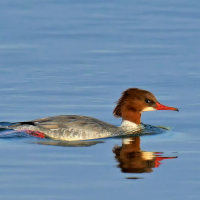 「大河の水鳥 Part2」