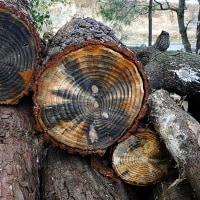 樹木の切断面