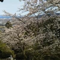 塩田川の桜&大内の観音さんの桜 2017