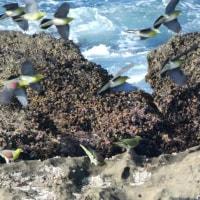 『アオバト』 岩礁を飛ぶ