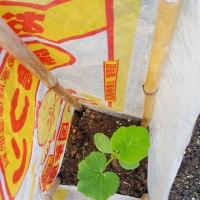 夏野菜 植えました