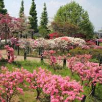 平成つつじ公園に~ここまで鮮やかな公園は? ツツジと花見月
